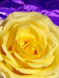Fleur de jaune de Rose avec des gouttelettes photo libre de droits