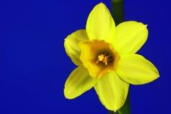 Fleur de jonquille Image libre de droits