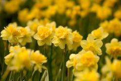 Fleur de jonquille Photographie stock
