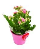 Fleur de Kalanchoe dans le bac. photographie stock libre de droits