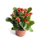 Fleur de Kalanchoe dans le pot d'isolement sur le fond blanc Image stock