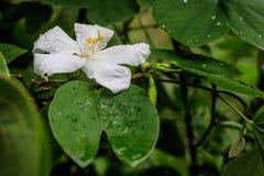 Fleur de Kalong Photographie stock