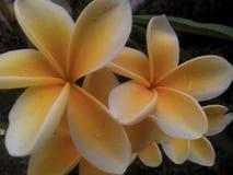 Fleur de Kamboja de Frangipani photo libre de droits