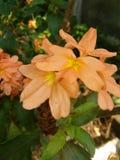 Fleur de Kanakambaram photographie stock libre de droits