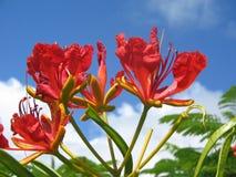Fleur de Kauai Photo stock
