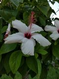 Fleur de ketmie à Corfou Images libres de droits