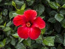 Fleur de ketmie à Funchal Madère Photos stock
