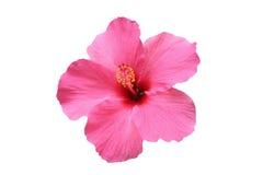 Fleur de ketmie Photo stock