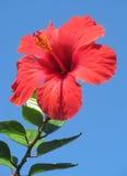 Fleur de ketmie Photographie stock