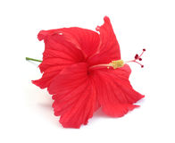 Fleur de ketmie Photos libres de droits