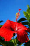 Fleur de ketmie Images libres de droits