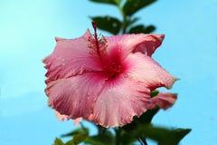 Fleur de ketmie avec la rosée Photographie stock libre de droits