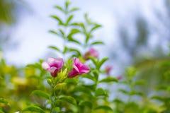 Fleur de ketmie belle avec le fond mou Image stock