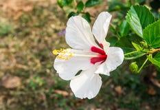 Fleur de ketmie dans le jardin Photos stock