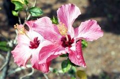Fleur de ketmie dans le jardin Photographie stock