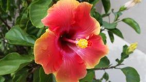 Fleur de ketmie de coucher du soleil Photo libre de droits