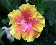 Fleur de ketmie en pleine floraison Photographie stock libre de droits