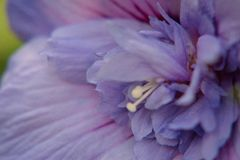 Fleur de ketmie en pleine floraison photographie stock