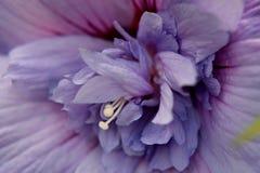 Fleur de ketmie en pleine floraison Photos stock