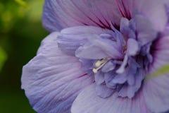 Fleur de ketmie en pleine floraison Photos libres de droits