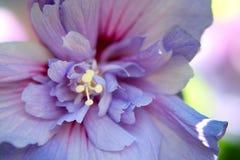 Fleur de ketmie en pleine floraison image stock