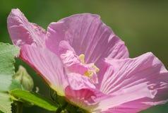 Fleur de ketmie fleurissant sous le soleil photographie stock libre de droits