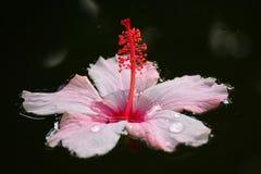Fleur de ketmie flottant sur l'eau images libres de droits