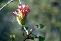 Fleur de ketmie (Galapagos, Equateur) Image libre de droits