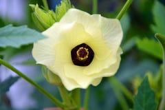 Fleur de ketmie ou fleur de Roselle Photo stock