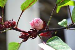 Fleur de ketmie ou fleur de Roselle Photos stock
