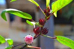 Fleur de ketmie ou fleur de Roselle Photographie stock libre de droits