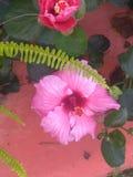 Fleur de ketmie rosâtre avec la feuille verte d'aiguille image stock
