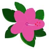 Fleur de ketmie sur le fond blanc Photographie stock libre de droits