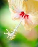 Fleur de ketmie sur le fond vert Image stock