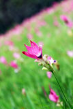 Fleur de Krachiao en Thaïlande Photographie stock