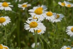 Fleur de l'amour ou du vulgare de Leucanthemum Images stock