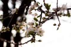 Fleur de l'arbre Image libre de droits