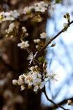 Fleur de l'arbre Photos libres de droits