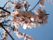 Fleur de l'arbre d'amande Images stock