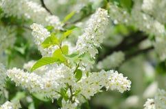Fleur de l'arbre d'oiseau-cerise Image libre de droits