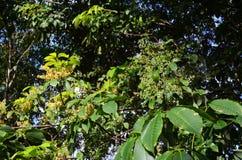 Fleur de l'arbre en caoutchouc Photos stock