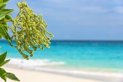 Fleur de l'argentea d'Argusia, mer comme fond Photo libre de droits