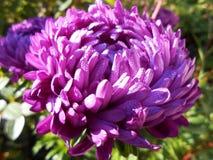 Fleur de l'aster violet pendant le matin images libres de droits