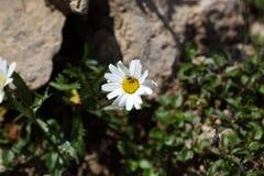 Fleur de l'atratum de chrysanthème Photographie stock libre de droits