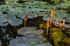 Fleur de l'eau photos libres de droits