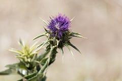 Fleur de l'englerianum de Cirsium de chardon Photos libres de droits