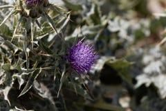 Fleur de l'englerianum de Cirsium de chardon Photographie stock libre de droits