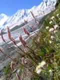 Fleur de l'Himalaya photographie stock libre de droits