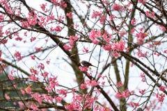 Fleur de l'Himalaya sauvage de cerise Photos libres de droits