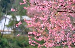 Fleur de l'Himalaya sauvage de cerise Photo libre de droits